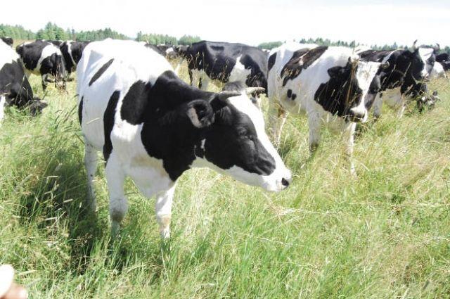 Лучшие хозяйства Прикамья дают по 8 тыс. тонн молока в год.