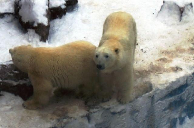 Челябинские белые медведи Алтын и Айриша станут рыбаками