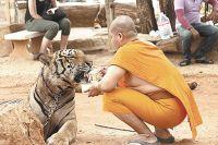 Тигры понимают, что они и монахи - братья, поэтому не нападают.