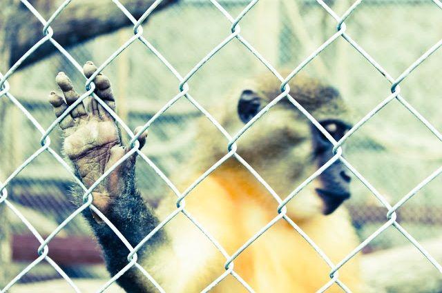 Мангобей – некрупная, довольно агрессивная обезьяна