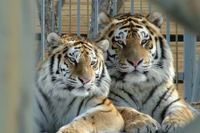 Олег Зубков собрал более 30 амурских тигров