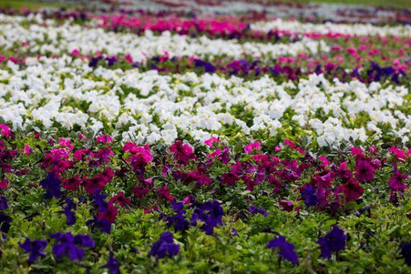 В рамках акции «Цветущая Казань» высажены цветы на площади 59 тыс.кв.м