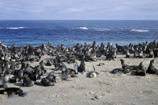 Остров Тюлений, находящийся в 12 км от мыса Терпения о.Сахалин, - место лежбищ тюленей и больших птичьих базаров.