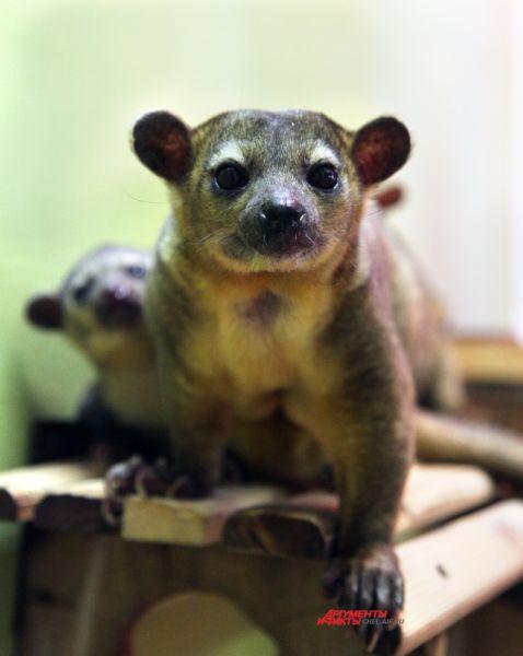 Спустя семь недель они способны висеть на деревьях с помощью своего хвоста, и употреблять кроме материнского молока другую пищу.