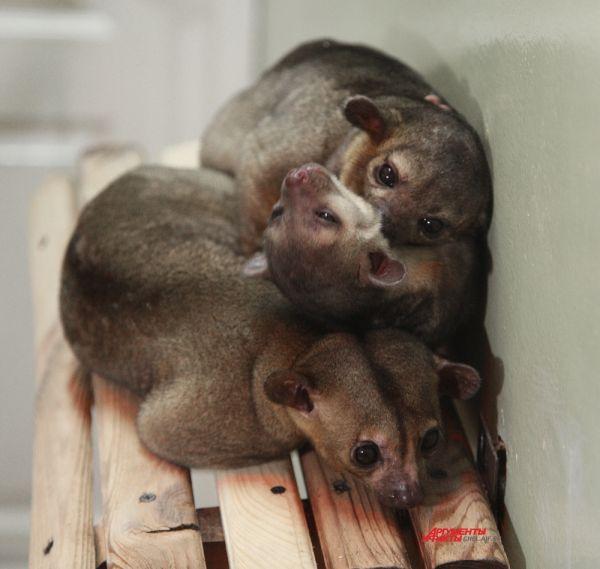 Детеныш родился у пары кинкажу Лики и Локи, которые живут в зоопарке с 2007 года.