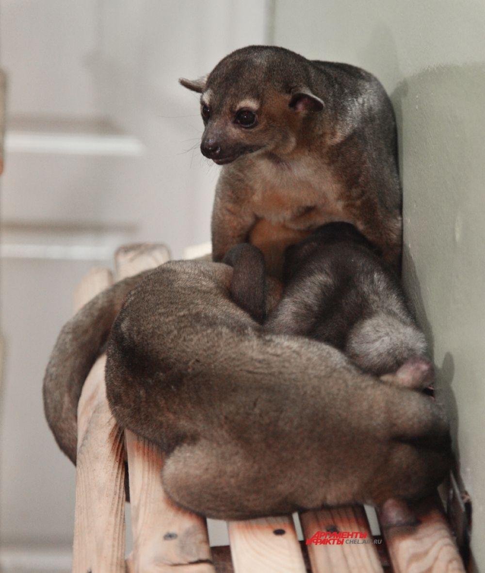 Родители Дзюдо прибыли в Челябинский зоопарк прямо из Аргентины.