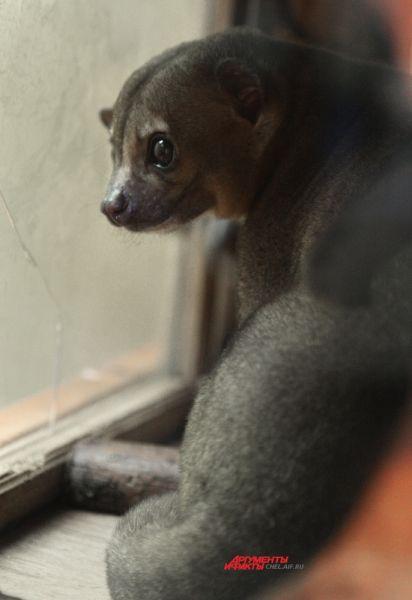 Любителям экзотики, которые хотят завести такую зверушку у себя дома, придется выложить за одну особь от 35 до 100 тысяч рублей.