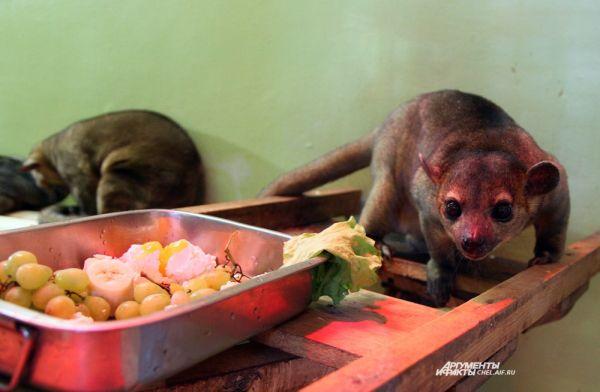 Мордочка животного немного похожа на медвежью, хотя он относится к семейству енотовых, но при этом, как настоящий медведь, очень любит мед.