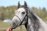 Гордость России прошлого века – орловская порода лошадей.