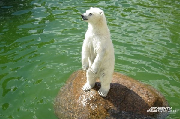 Для того, чтобы выбрать имя медвежонку, был объявлен конкурс среди горожан.