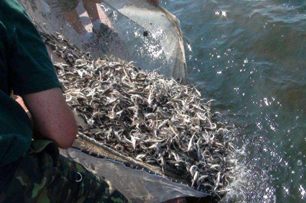 Выпуск мальков в Волгу — самый волнующий и ответственный момент для рыбоводов.