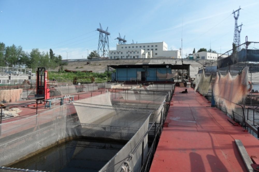 Маточное стадо со взрослым поголовьем содержится в недавно пущенном в строй рыбоводном комплексе ВОРЗа рядом с плотиной Волжской ГЭС