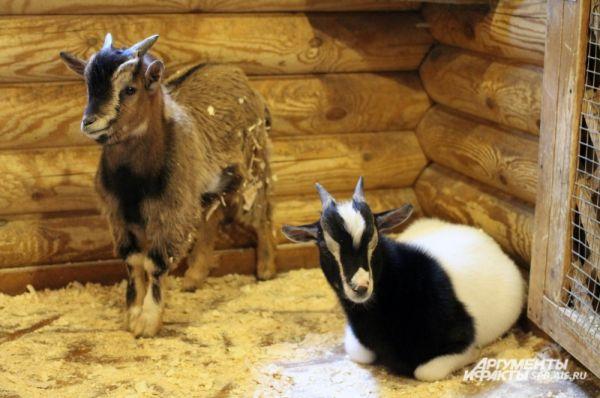 У каждой из трех коз родились по два козленка.