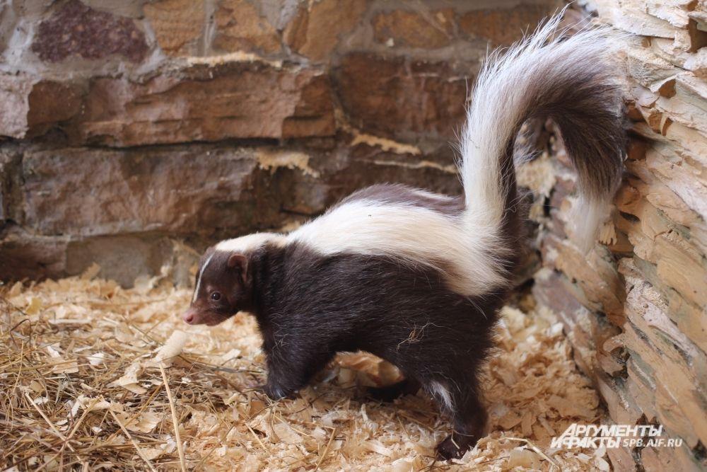 Скунс Боня недавно появилась в Ленинградском зоопарке.