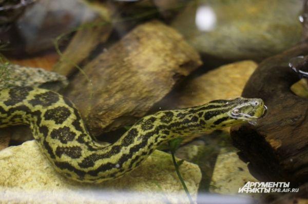 Анаконда - крупнейшая по массе из современных змей.