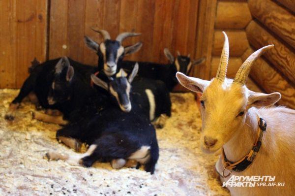 В марте три камерунские козочки – Лулу, Дося и Влада – принесли потомство.