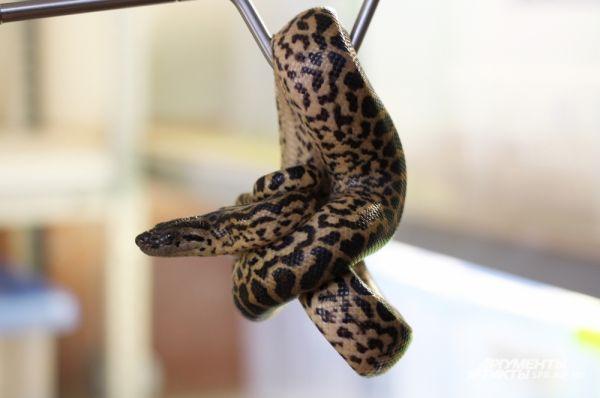 В марте в отделе «Акватеррариум» родились восемь детенышей анаконды.
