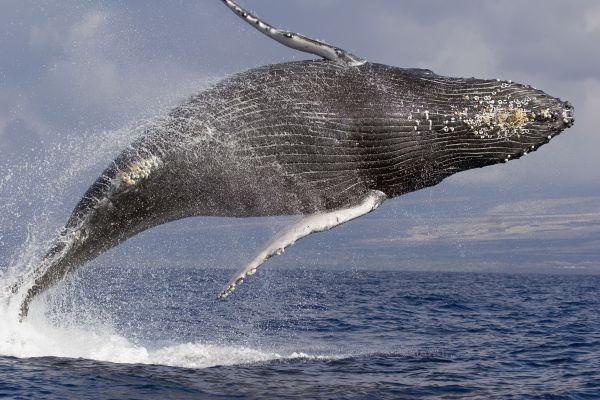 Кит – самое большое млекопитающие из всех существующих на земле. Принадлежит к отряду китообразных и обитает в морской воде. Голубой кит, чья длина может превышать 30 м – самое большое животное в мире. Он весит около 125 тонн.