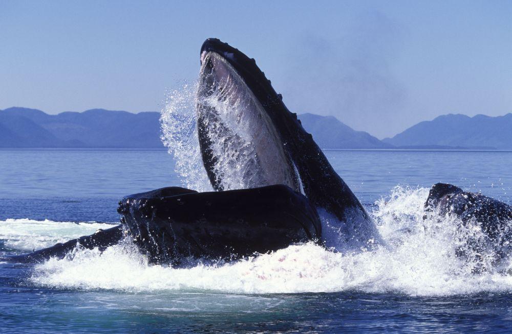Голубой кит вместо зубов во рту имеет несколько сотен роковых пластинок, их называют китовыми усами.  Чтобы пообедать, киту достаточно раскрыть пасть и проплыть через скопление моллюсков, креветок или рыб. Потом кит закрывает пасть и силой выталкивает воду изо рта через китовые усы, как через сито, а добыча остается внутри.