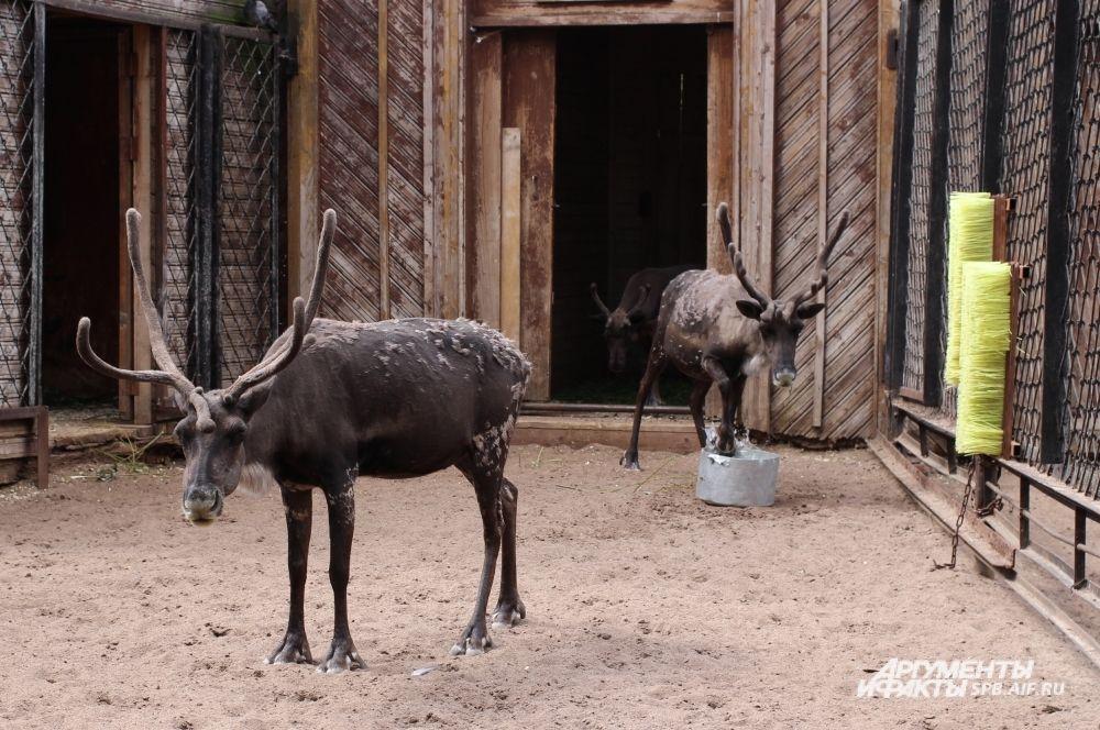 Самец северного оленя по кличке Норд стал в этом году отцом дважды.
