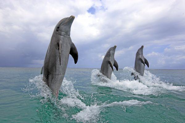 Дельфины – млекопитающие, принадлежащие к отряду китообразных. Обитают в морях, океанах, заливах и реках всего мира. Взрослые речные дельфины достигают размеров от 1,2 м в длину, а морские – до 9,5 м. Мозг – самый крупный орган тела дельфина, по отношению к массе тела он почти такой же, как у человека.