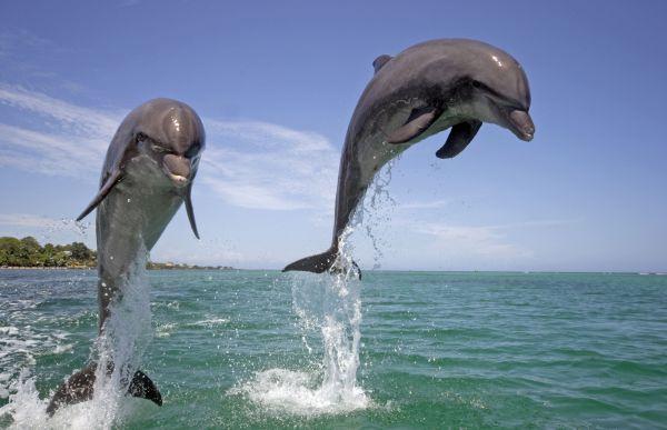 Слух дельфинов уникален. Млекопитающие имеют свою систему звуковых сигналов: эхолокационные сигналы, служащие для нахождения пищи, обнаружения препятствий и исследования обстановки; и «свист»-сигналы, обеспечивающие коммуникацию между дельфинами. У дельфинов внутри сообщества есть имена, по которым они различают друг друга. Человеческому уху высокочастотные звуковые сигналы дельфинов недоступны, слух млекопитающих острее в 400-1000 раз.