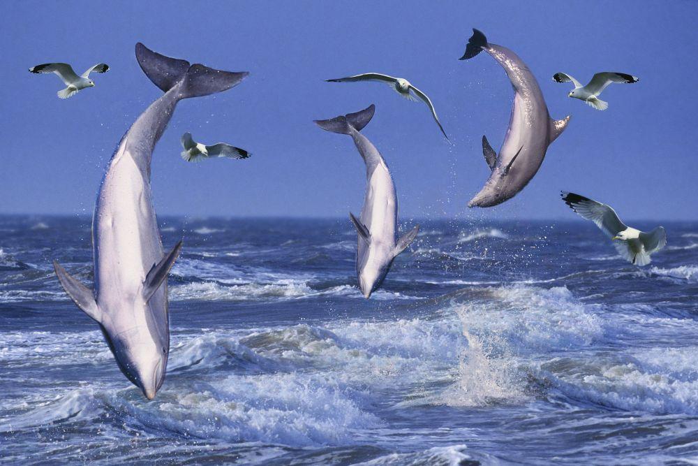 Из-за гладкой эластичной кожи сила трения воды о тело дельфина минимальна, это позволяет млекопитающему развивать большую скорость. Средняя скорость дельфина – 5-11 км/ч, самые быстрые дельфины развивают скорость до 37 км/ч.