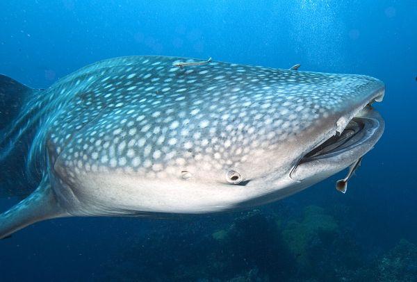 Кит – единственное млекопитающее на планете, кроме человека, которое поет. Самая короткая песня кита длится 6 минут, а самая длинная - более получаса.