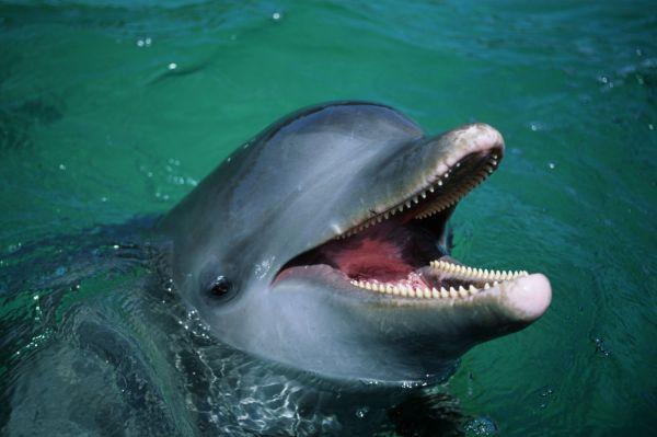 Дельфины дышат воздухом, у них есть легкие и дыхало, являющееся продолжением носа. В среднем они способны задерживать дыхание на 7.25 минуты. Рекордное время задержки дыхания для млекопитающего – 15 минут.