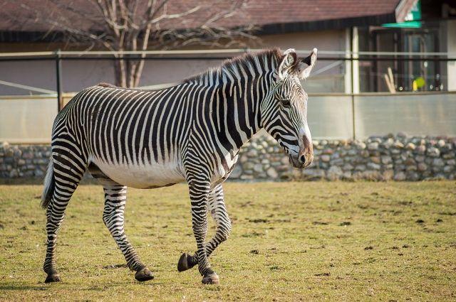 Зебра из Казахстана поселится в Челябинском зоопарке