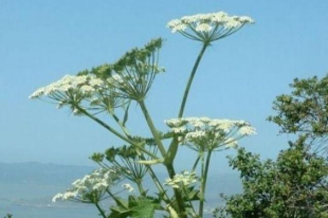 Ядовитые растения г пензы