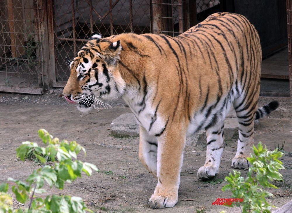 Тигр ведет одиночный образ жизни, придерживается определённого индивидуального участка, но в поисках добычи он постоянно совершает большие переходы, поэтому размеры охотничьих территорий очень велики – до нескольких сотен квадратных километров.