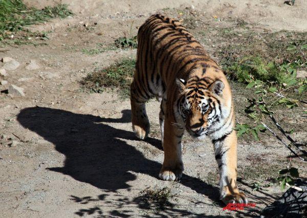 Ареал амурского тигра охватывает юг нашего Дальнего Востока и крайний северо-восток Китая.