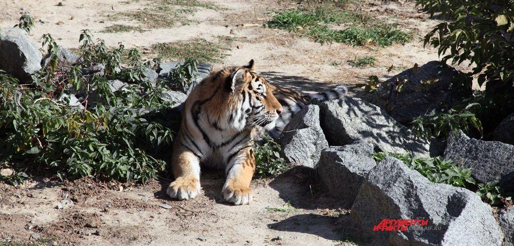 Расположение полос подвержено значительной изменчивости: по-видимому, нет двух тигров с идентичным узором. Несмотря на яркость и контрастность, такая окраска является маскирующей.
