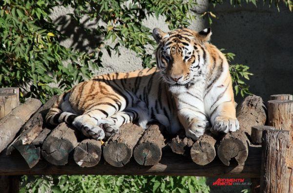 Характерна поперечнополосатая окраска тигра: по основному рыжеватому фону на спине и боках идут многочисленные поперечные тёмные полосы, которые образуют довольно сложный узор.