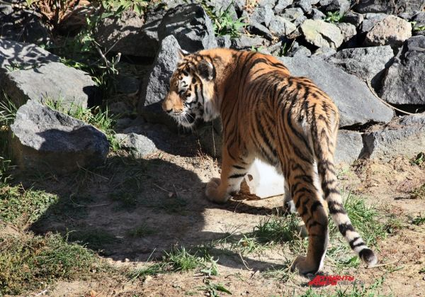 Длина тела самца составляет 270-310 см, хвоста 80-100 см, вес взрослых особей может достигать 300 кг. Самцы значительно крупнее самок.