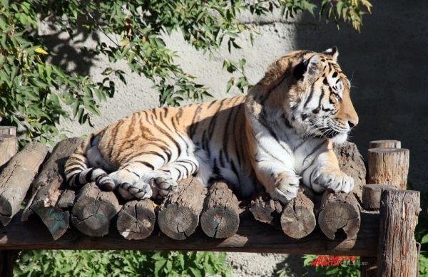 Тигр – один из самых больших наземных хищников, крупнейший представитель семейства кошачьих.