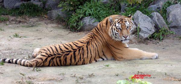 Тигры полигамны: во владениях одного самца могут жить от 1 до 3 самок, с каждой из которых он поочерёдно вступает в брачные отношения.
