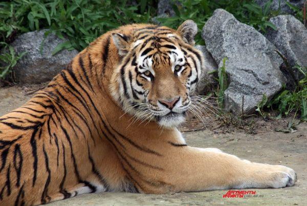 С тигрицей тигрята остаются не менее 1,5-2 лет, а когда мать их окончательно оставляет, они несколько месяцев живут группой на её участке. Из-за недостаточного умения охотиться молодые животные нередко голодают и поэтому ходят по следам тигрицы, питаясь остатками её добычи.