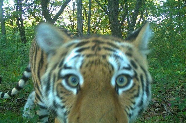 Амурский тигр, как и все кошачьи - крайне любопытен.