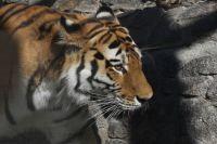 Молодой тигр Амадей появился в жизни Герды в 2010 году.