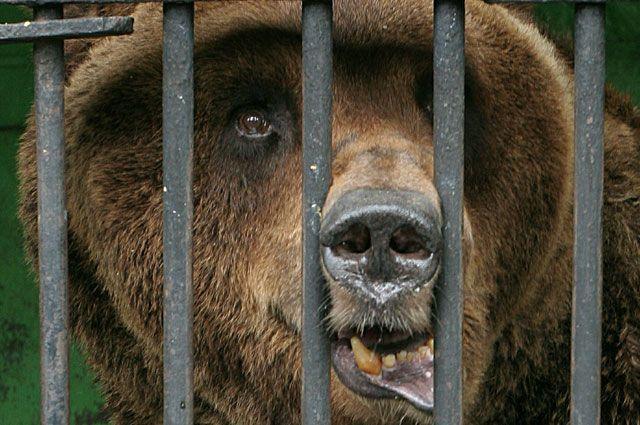 После нападения циркового медведя два человека находятся в больнице.