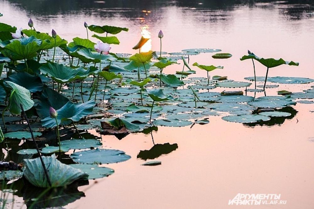 Лотосы растут на озёрах.