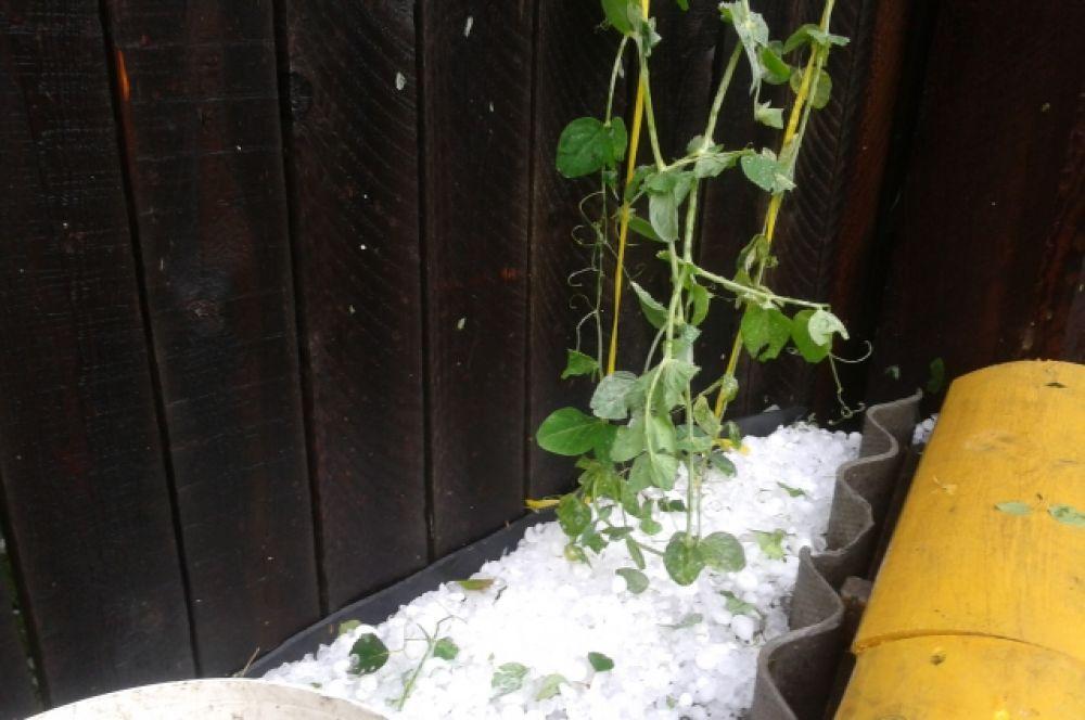 У многих огородников побило растения на открытом грунте.
