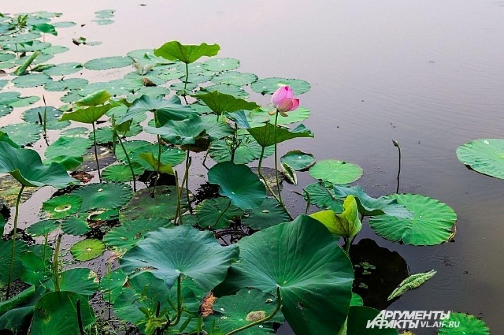 Корень лотоса находится глубоко под водой, а бутон и лист - на поверхности.