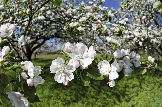 Яблоня возможно станет «зелёным» символом Омской области.
