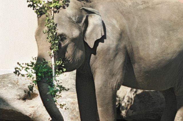 Слонихе Даше в зоопарке Екатеринбурга исполнилось 33 года