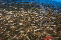 Завод по разведению рыбы ценных пород готов выпускать ее в сибирские реки.