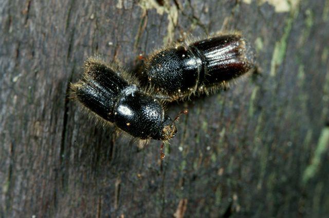 На фото: жук-короед, один из опасных лесных вредителей.
