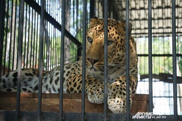 А меня почему не кормите? - как бы спрашивает грустный леопард.